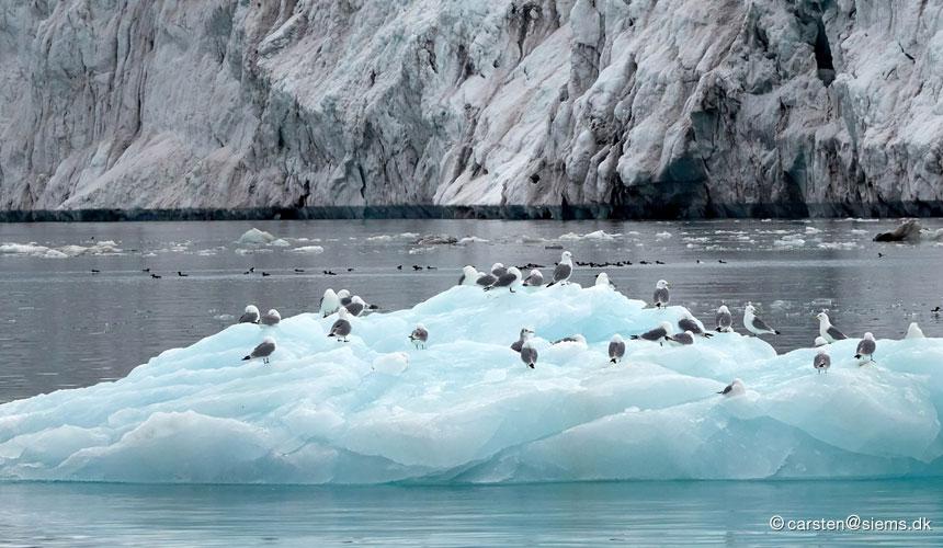 Svalbard fugle på is