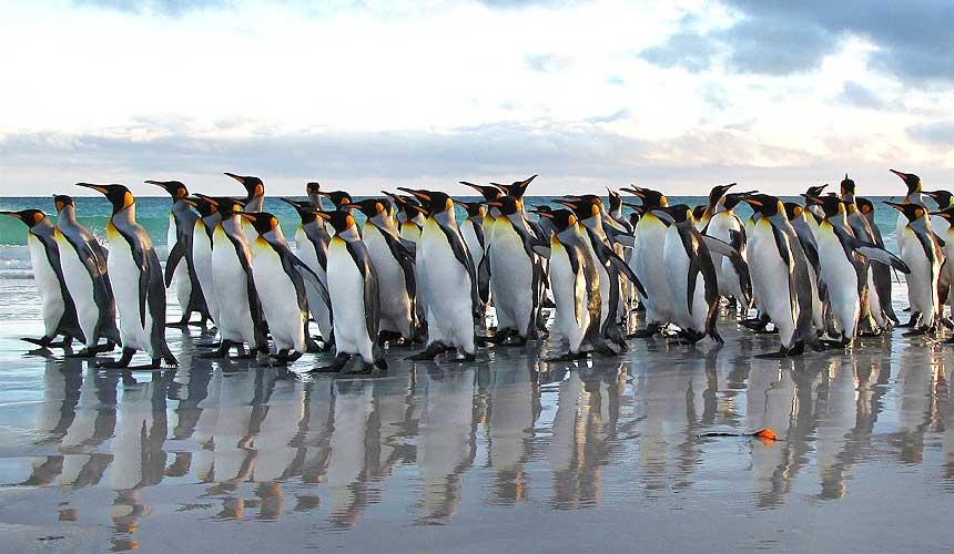En flok pingviner på sranden