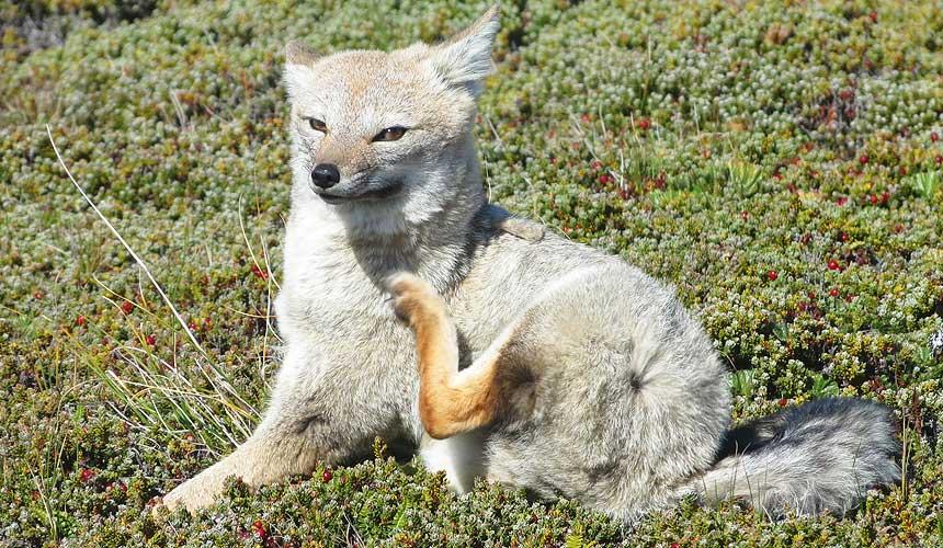 En ræv der klør sig