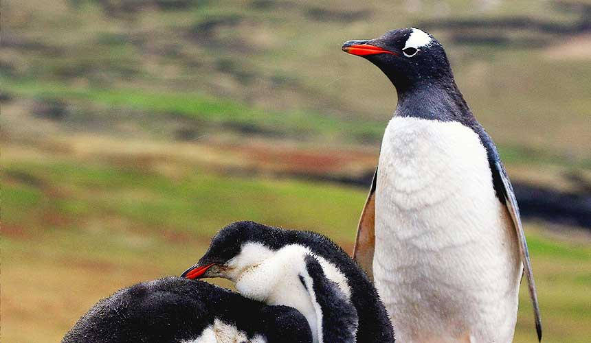 Pingvin med unger