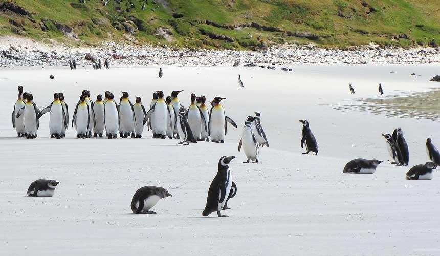 Pingvin på stranden