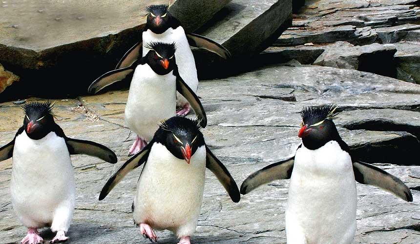 Pingviner løber