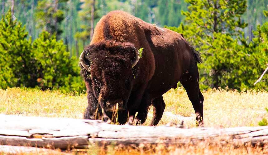 Bisson Yellowstone
