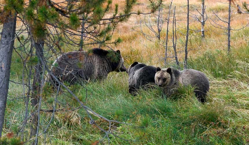 Bjørne i Yellowstone