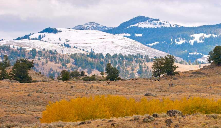 Bjørne Yellowstone