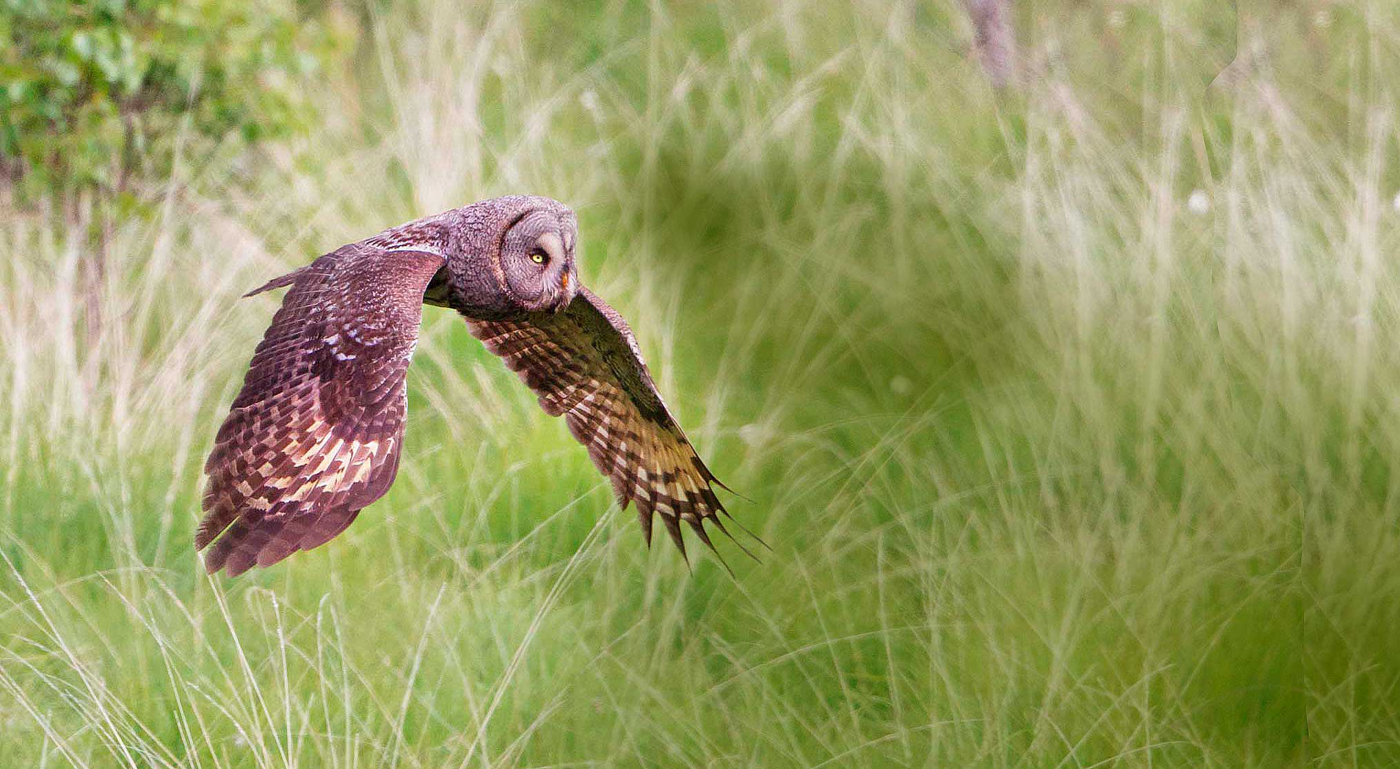great-grey-owl-strix-nebulosa